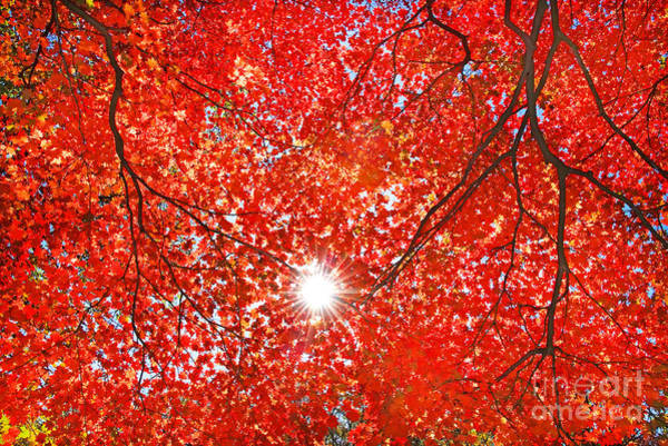 Wall Art - Photograph - Sun Light Through The Red Fall Maple by Maxim Tupikov