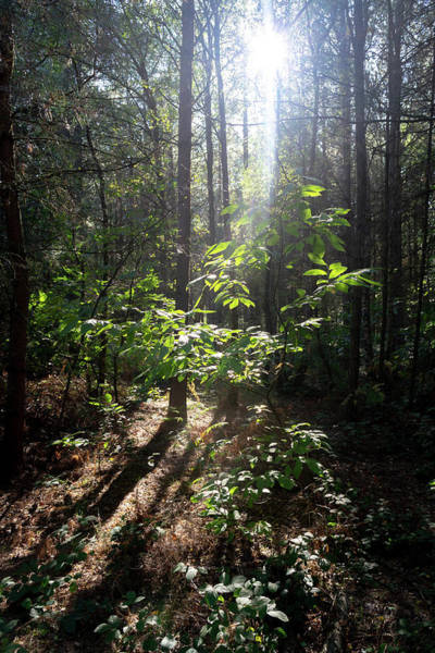 Photograph - Sun Rays Cast Through Forest by Scott Lyons