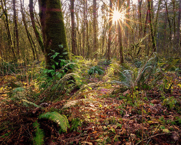 Photograph - Sun Star In Tryon Creek State Park by Whitney Goodey