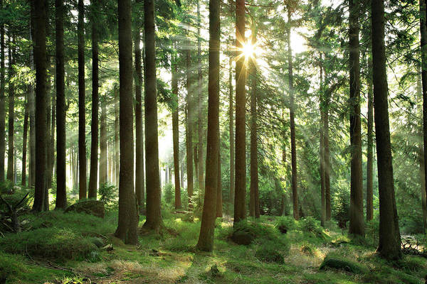Boreal Forest Photograph - Sunbeams Breaking Through Natural by Avtg