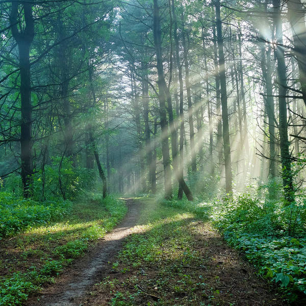 Pine Tree Photograph - Sunbeams On A Forest Trail by Drnadig
