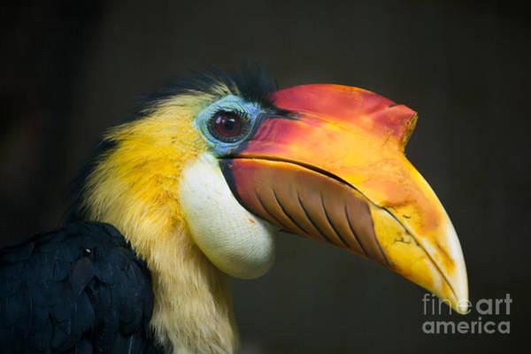 Beak Wall Art - Photograph - Sunda Wrinkled Hornbill Aceros by Vladimir Wrangel