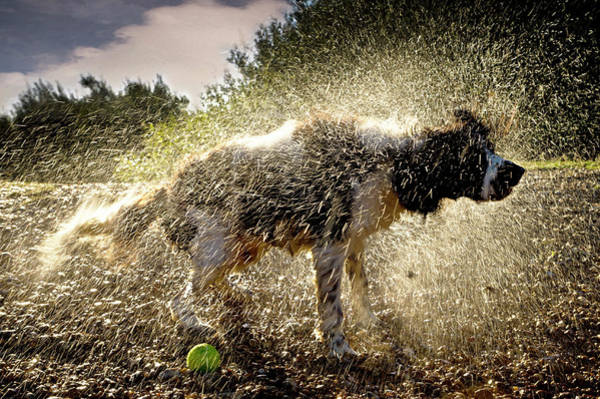 Springer Spaniel Photograph - Sunday Morning Dip Then A Good Shake by Andy Smith Photography