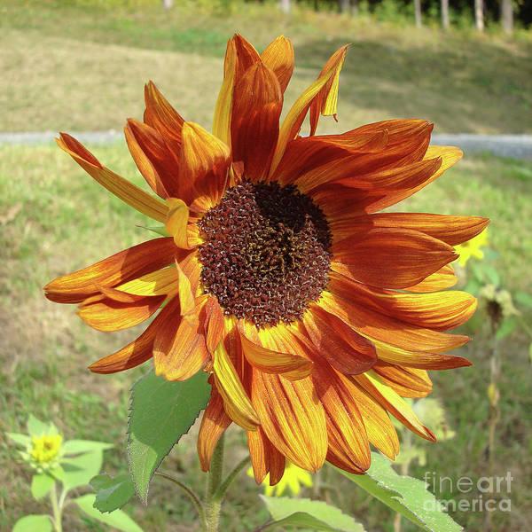 Photograph - Sunflower 18 by Amy E Fraser