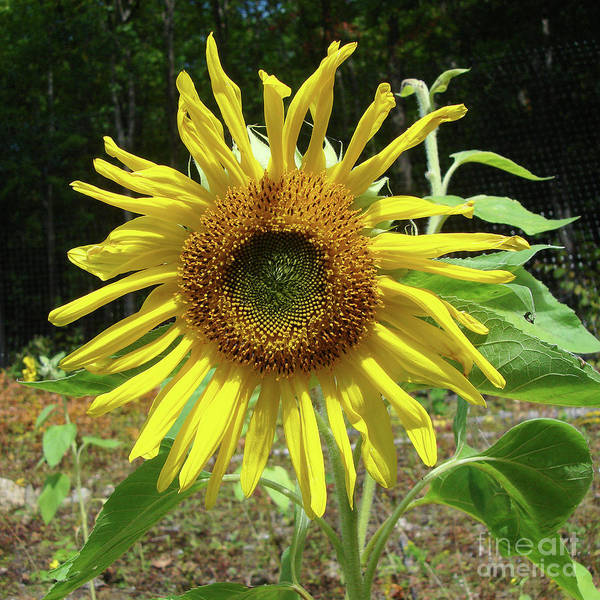 Photograph - Sunflower 19 by Amy E Fraser