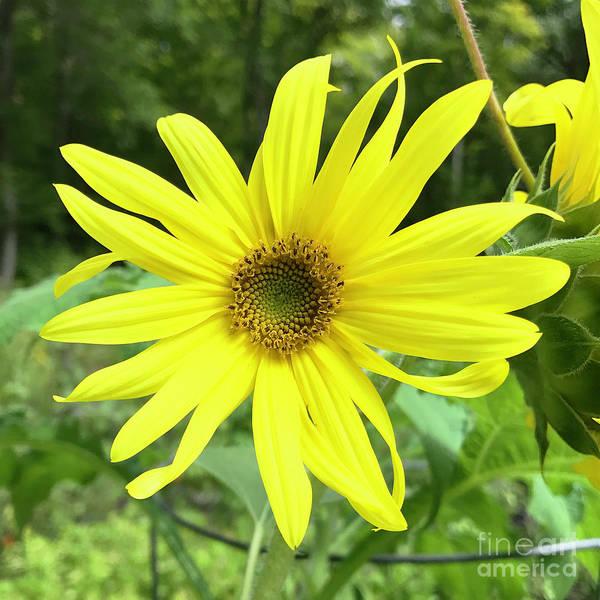 Photograph - Sunflower 21 by Amy E Fraser