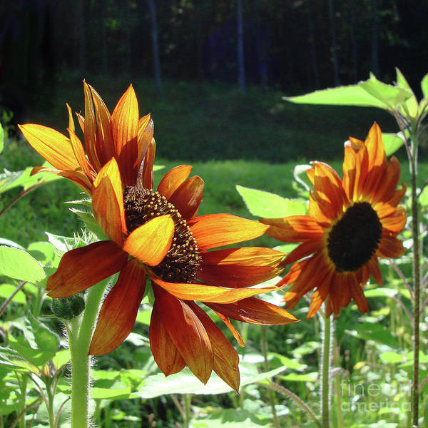 Photograph - Sunflower 22 by Amy E Fraser