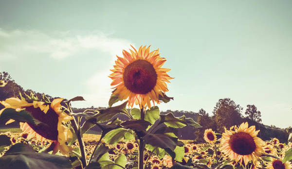 Photograph - Sunflower 22 #sunflowers by Andrea Anderegg