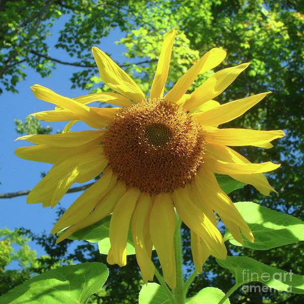 Photograph - Sunflower 25 by Amy E Fraser
