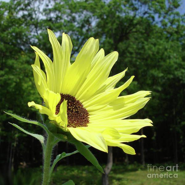 Photograph - Sunflower 27 by Amy E Fraser