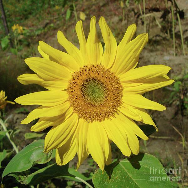 Photograph - Sunflower 30 by Amy E Fraser