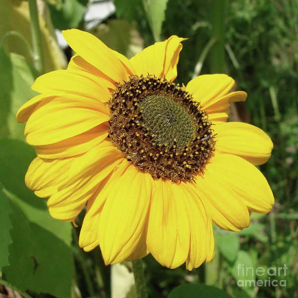 Photograph - Sunflower 32 by Amy E Fraser