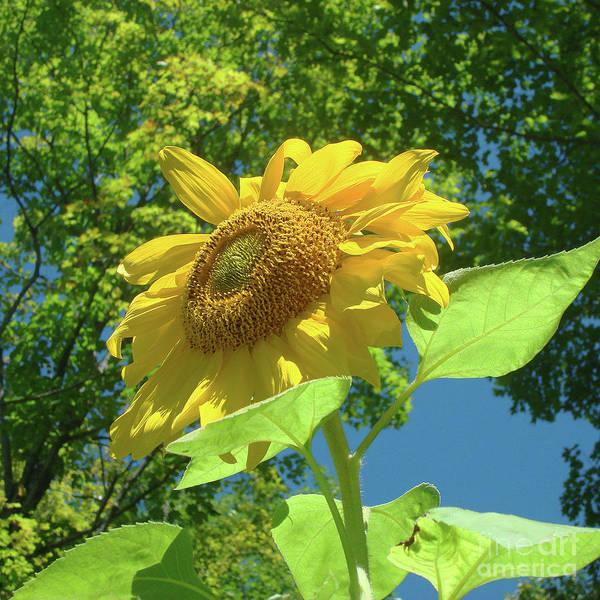 Photograph - Sunflower 35 by Amy E Fraser