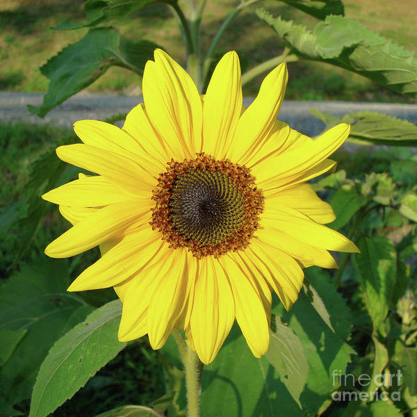 Photograph - Sunflower 36 by Amy E Fraser
