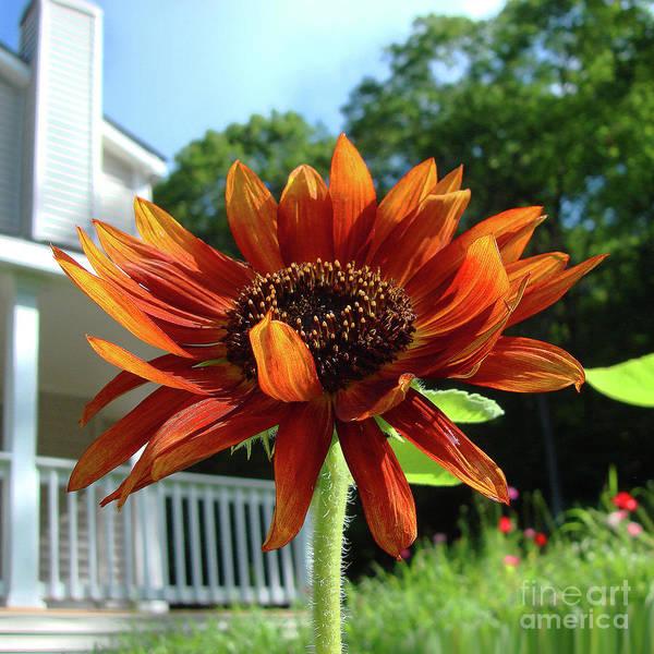 Photograph - Sunflower 39 by Amy E Fraser
