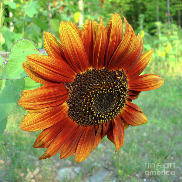 Photograph - Sunflower 41 by Amy E Fraser