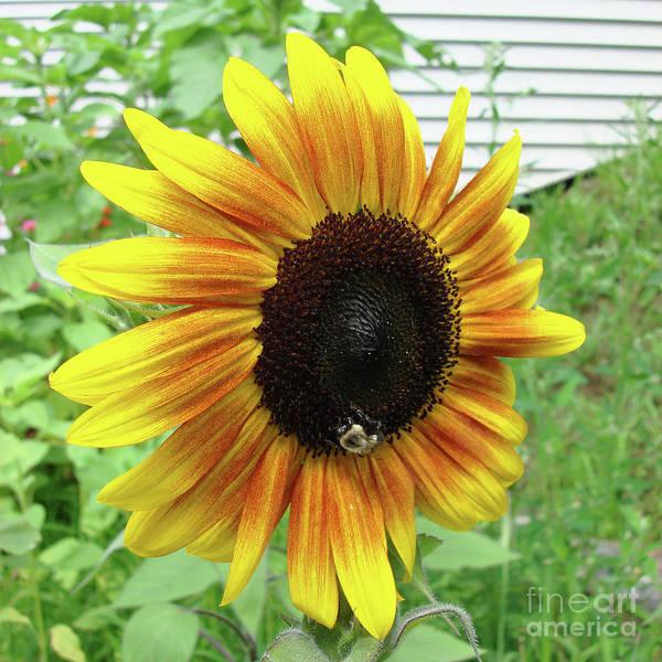 Photograph - Sunflower 50 by Amy E Fraser