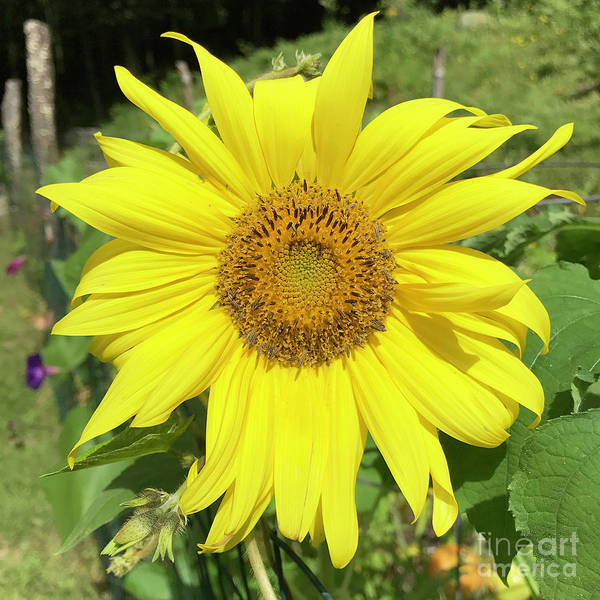 Photograph - Sunflower 53 by Amy E Fraser