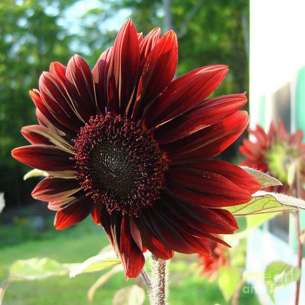 Photograph - Sunflower 54 by Amy E Fraser