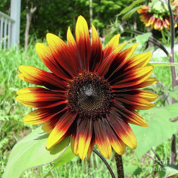 Photograph - Sunflower 56 by Amy E Fraser
