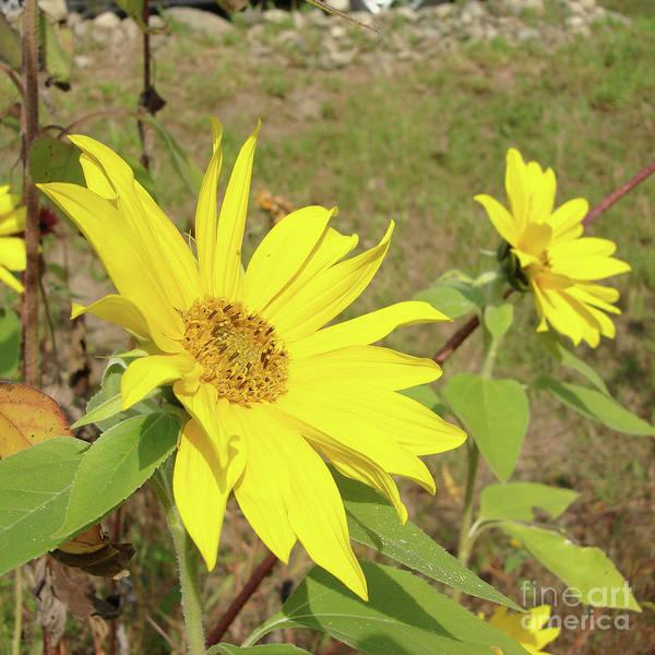 Photograph - Sunflower 58 by Amy E Fraser