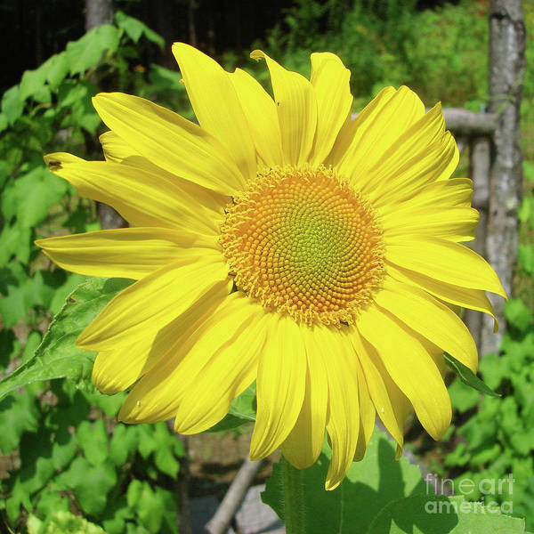 Photograph - Sunflower 60 by Amy E Fraser