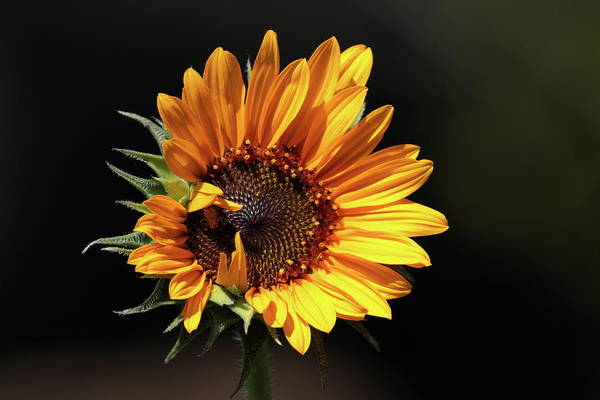 Photograph - Sunflower 8265 by John Moyer