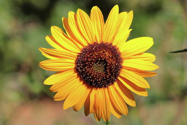 Photograph - Sunflower 8296 by John Moyer