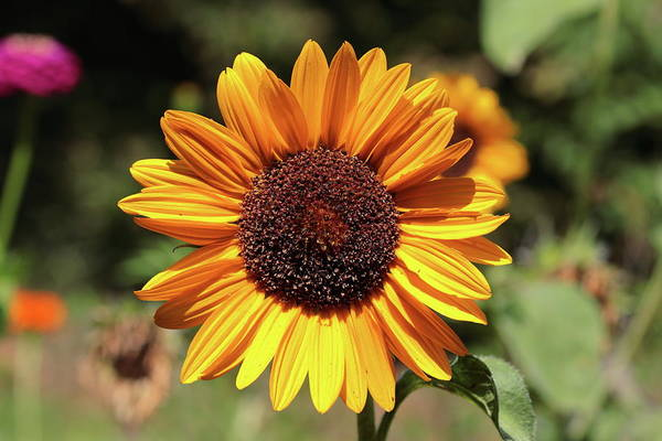 Photograph - Sunflower 8331 by John Moyer