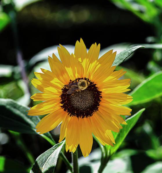 Photograph - Sunflower And Bee by Robert Ullmann