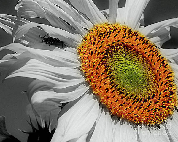 Photograph - Sunflower And Shy Friend by Smilin Eyes  Treasures