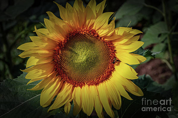 Wall Art - Photograph - Sunflower And Visitor by William Norton