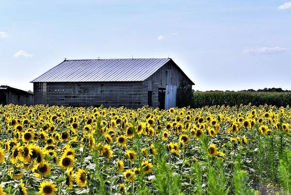 Photograph - Sunflower Barn by Kim Bemis