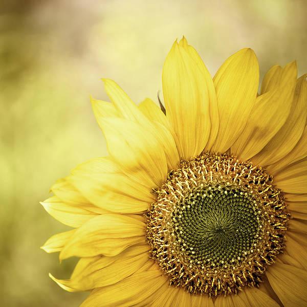 Photograph - Sunflower Blossom With Bokeh Background by Elisabeth Schmitt