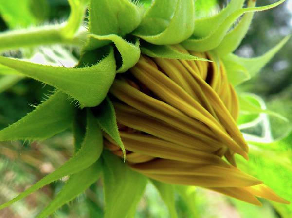 Wall Art - Photograph - Sunflower Bud by Payton Schafer