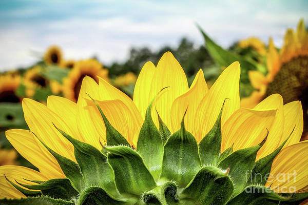 Wall Art - Photograph - Sunflower Burst by Colleen Kammerer
