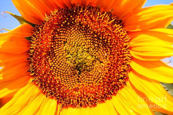 Wall Art - Photograph - Sunflower Close Up by Jeff Swan