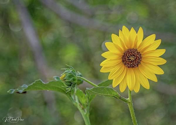 Photograph - Sunflower by David Pine