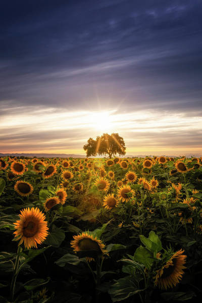 Sunflower Day Art Print by Vincent James