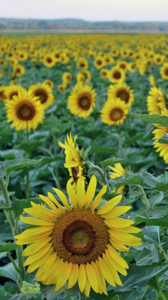 Photograph - Sunflower Diptych One by Cricket Hackmann