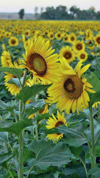 Photograph - Sunflower Diptych Two by Cricket Hackmann