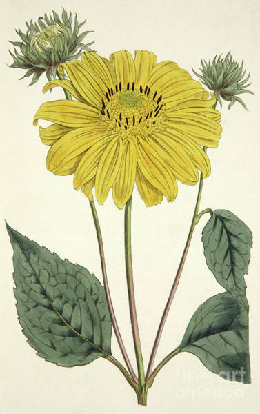 Wall Art - Painting - Sunflower Drawing Circa 1796 by English School