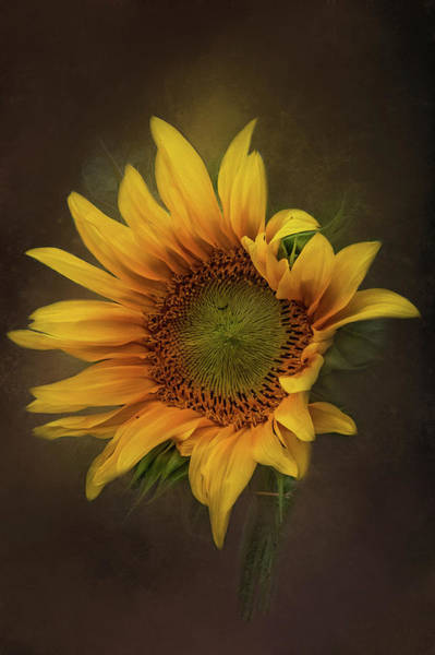 Photograph - Sunflower Dreams by Kelley Parker