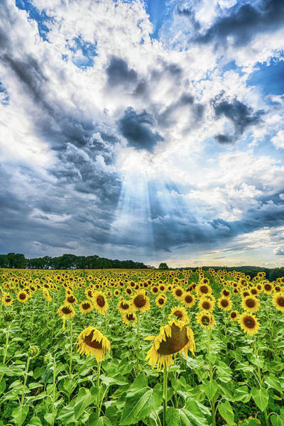 Photograph - Sunflower Field by Brad Bellisle