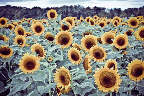 Wall Art - Photograph - Sunflower Fields by Colleen Kammerer