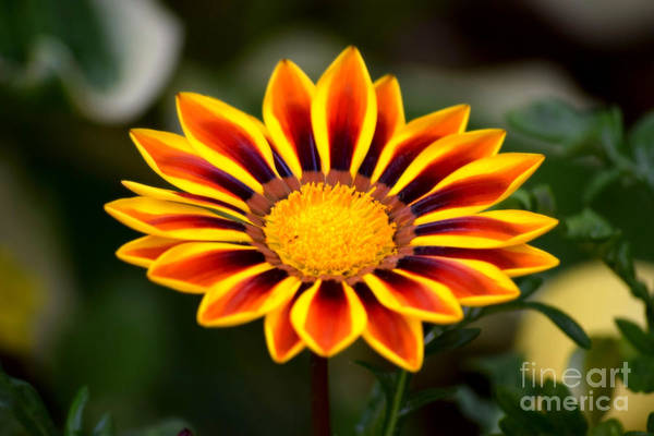 Photograph - Sunflower Gazania by Patti Whitten
