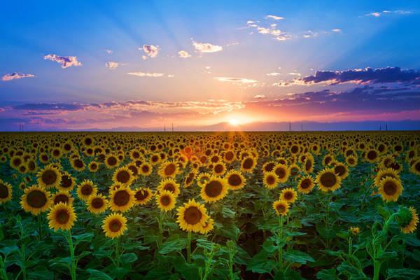 Wall Art - Photograph - Sunflower by Hansrico Photography