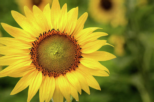 Photograph - Sunflower In The Field by Don Johnson