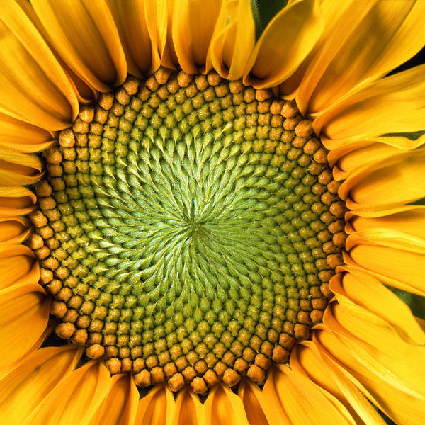 Yellow Photograph - Sunflower by John Foxx