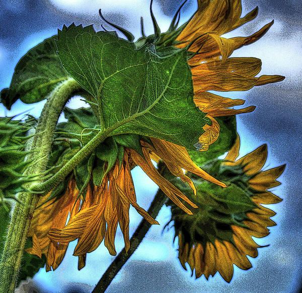 Photograph - Sunflower by Lee Santa